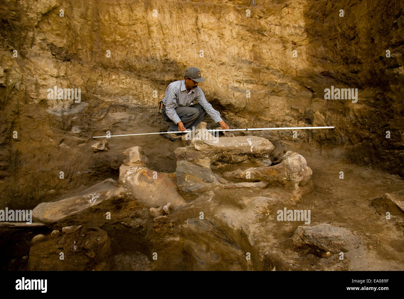Le paléontologiste Iwan Kurniawan mesure la taille de l'ancienne--éléphant Elephas hysudrindicus Photo Stock
