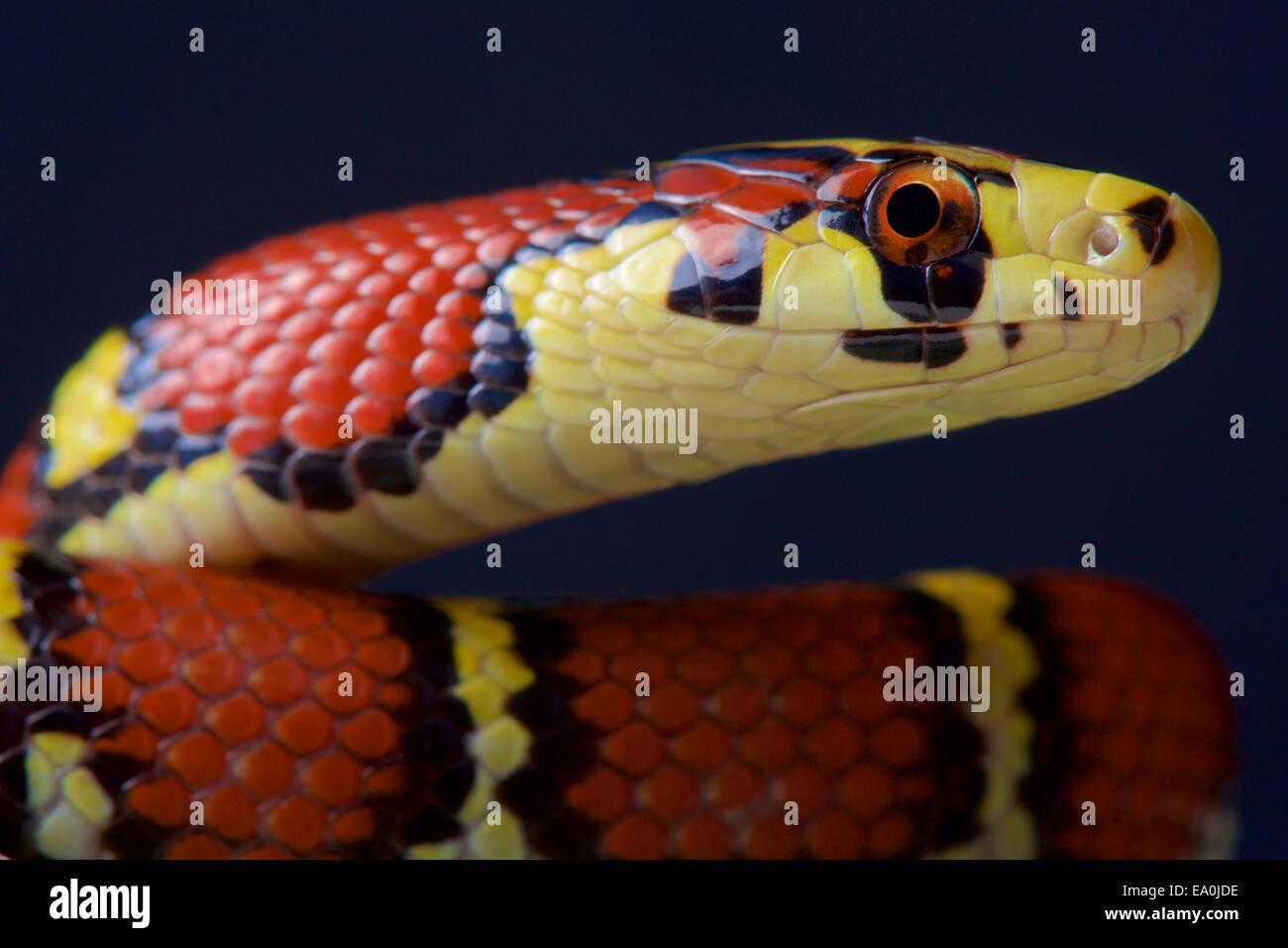 Couleuvre obscure / Archelaphe Chapa chapaensis bella Photo Stock