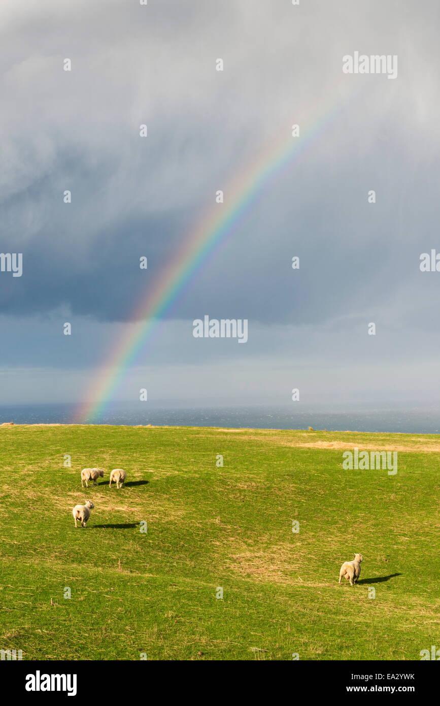 Des moutons paissant sous un arc-en-ciel à Péninsule d'Otago, Otago, île du Sud, Nouvelle-Zélande, Pacifique Banque D'Images