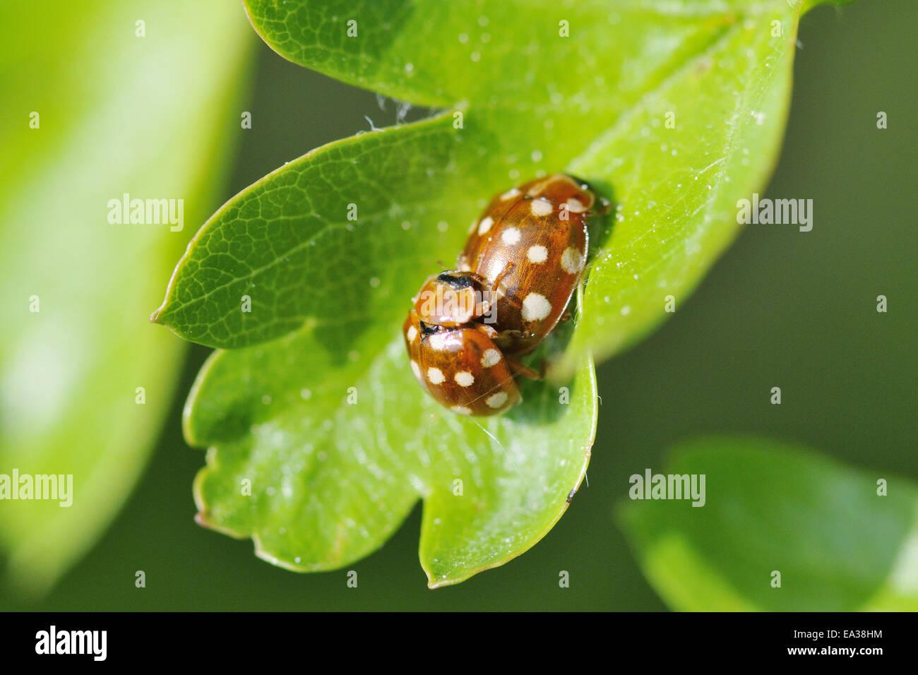 Cream-spot ladybird Banque D'Images