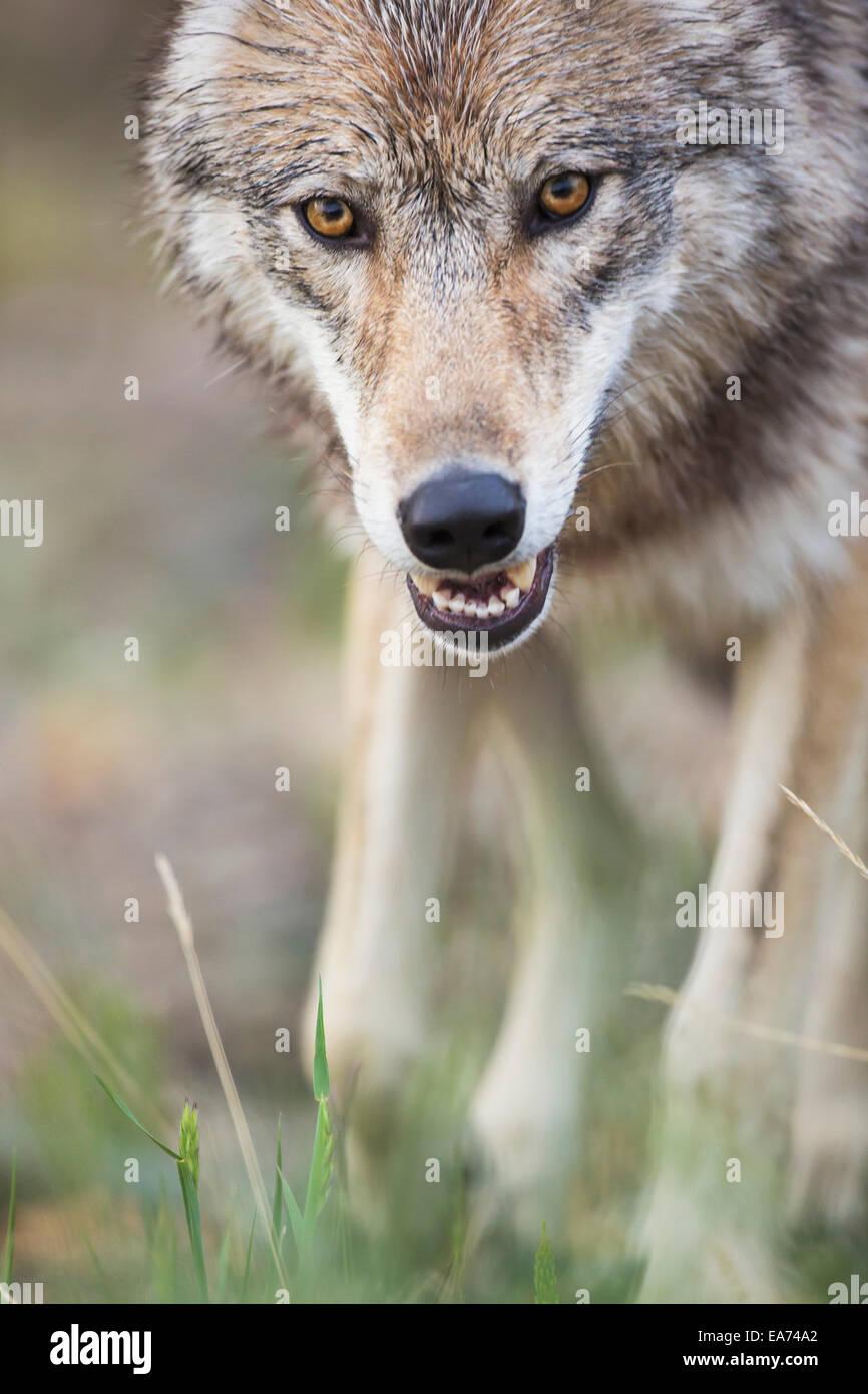 Loup gris, Denali National Park, de l'Intérieur, de l'Alaska. Photo Stock