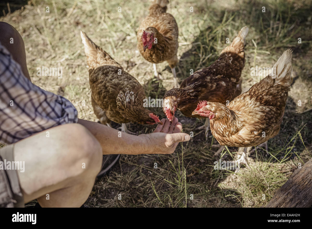 L'alimentation de l'homme quatre poulets. Photo Stock