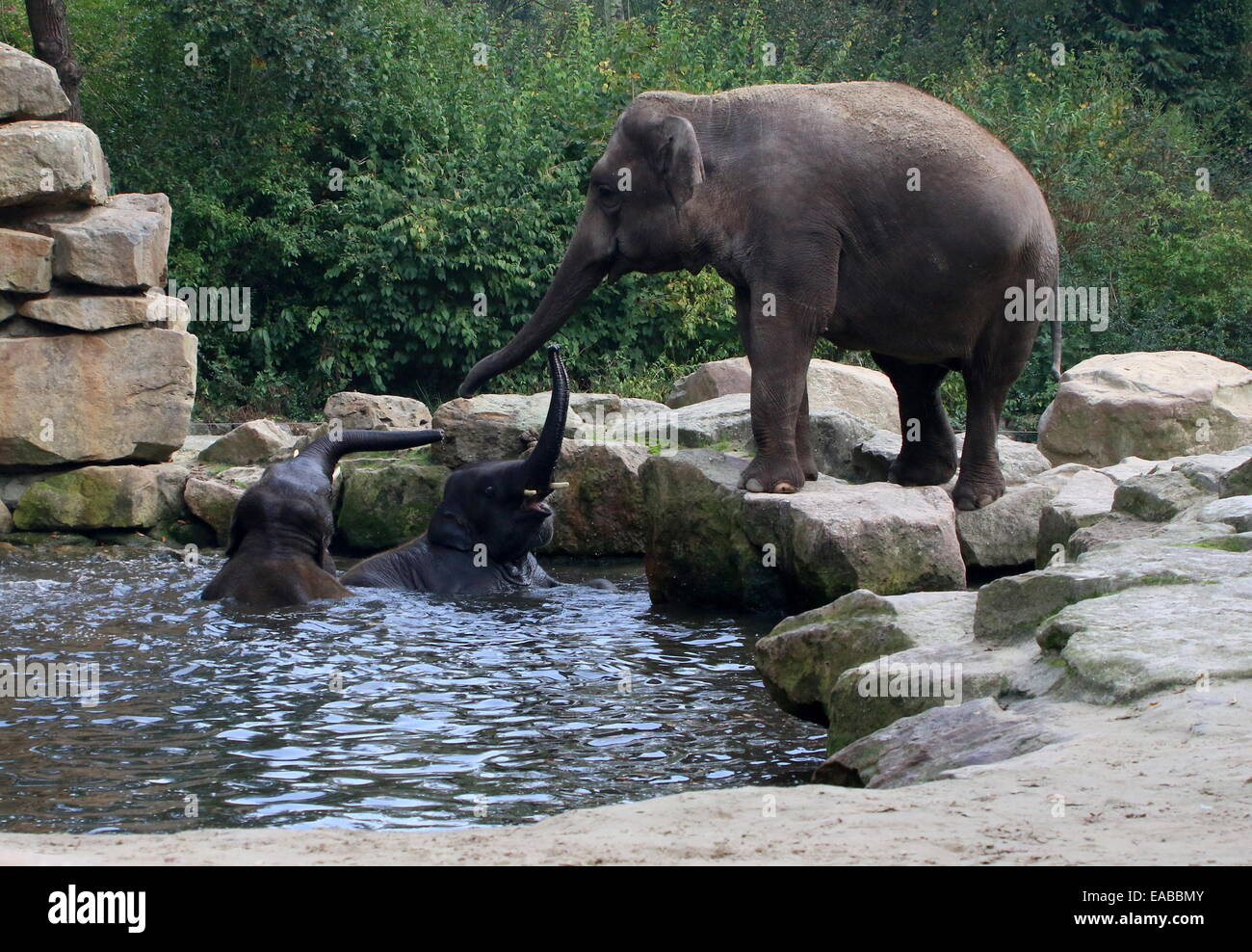 L'éléphant indien féminin (Elephas maximus) balance son tronc en message d'accueil, deux jeunes éléphants asiatiques bull echelle Banque D'Images