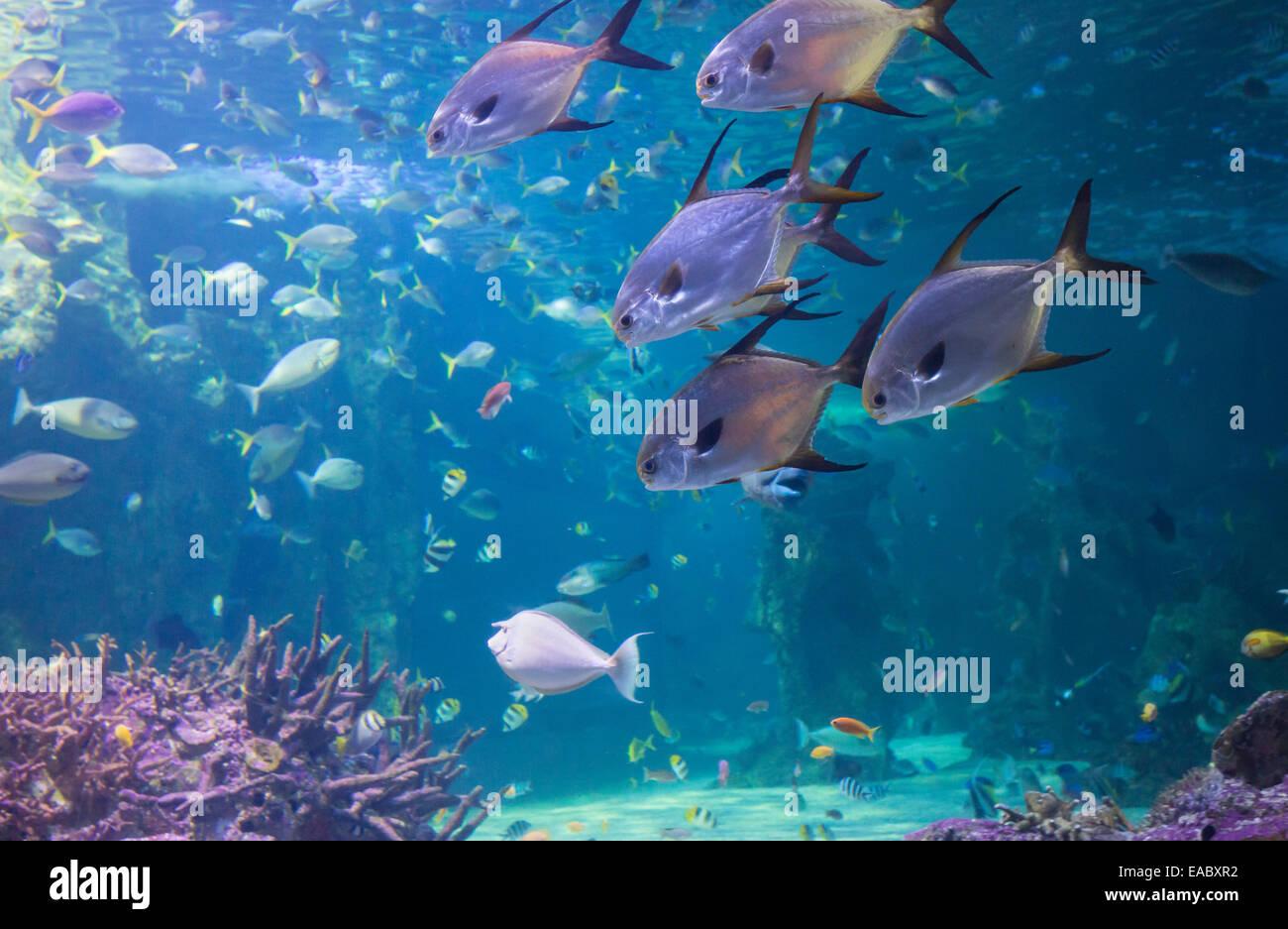 Grande Barrière de Corail dans l'aquarium Sea Life Aquarium de Sydney, Darling Harbour, Sydney, Australie Photo Stock