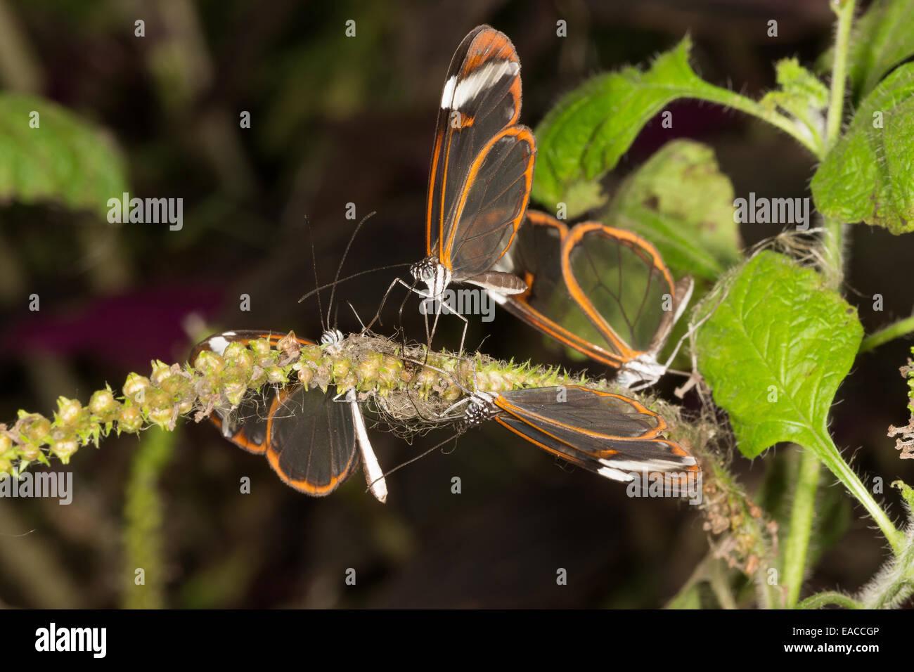 """""""Verre"""" d'aile de papillons (Greta oto), boire à North Somerset Butterfly House Photo Stock"""