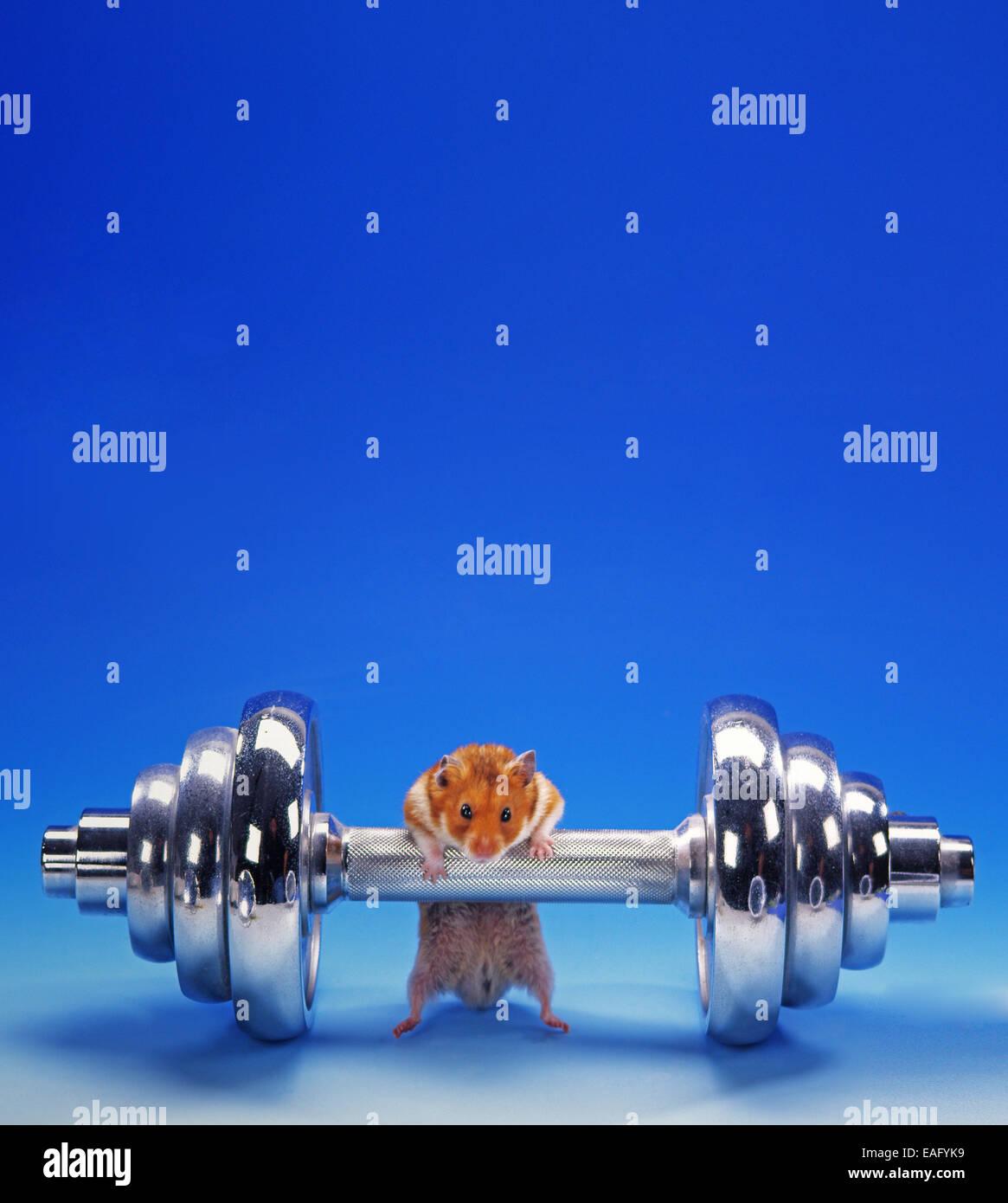 Hamster doré faire la formation de poids Photo Stock