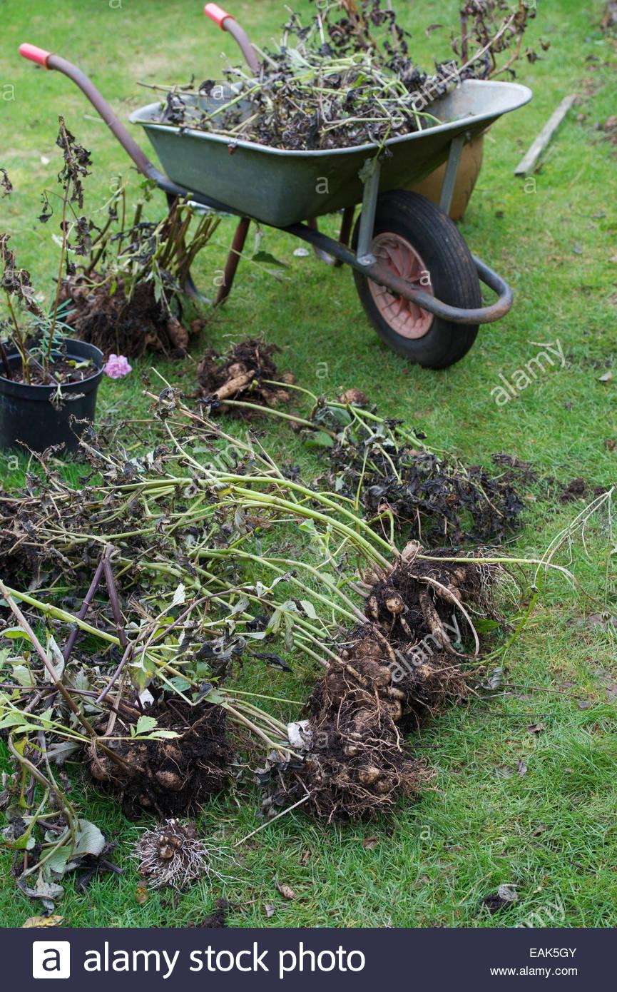 Dug up fleur Dahlia tubercules pour stocker pendant l hiver Banque D ... 6a16fea95ff
