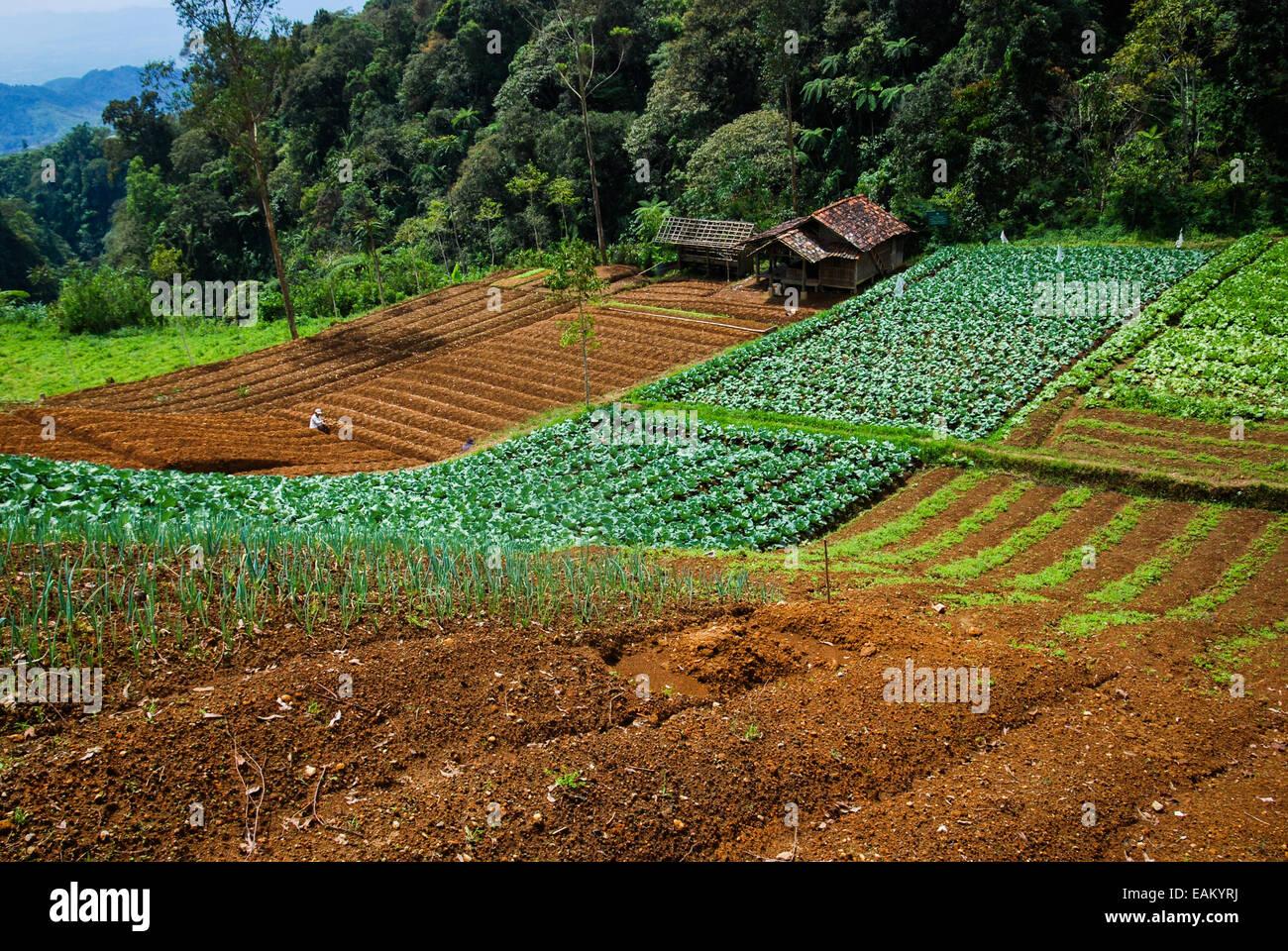 Les terres agricoles près de Sarongge chou village, juste à l'extérieur de Gede Pangrango Parc Photo Stock