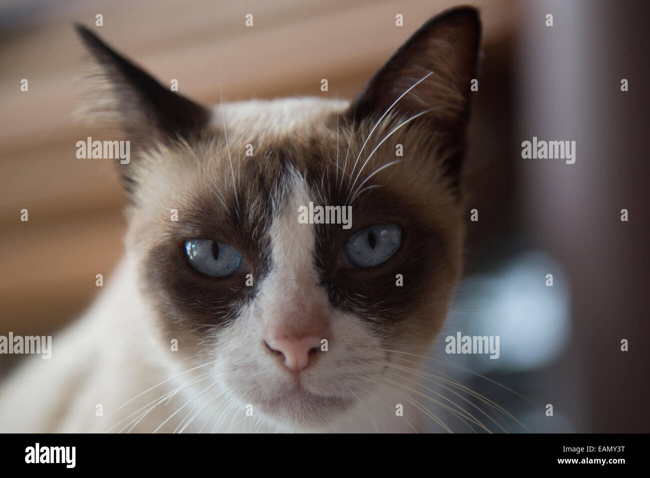 Portrait d'un chat de raquette, Thaïlande Photo Stock