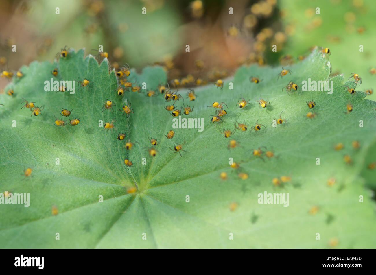 L'araignée Araneus diadematus, jardin, petits nouveaux, en suspension sur la soie. Photo Stock
