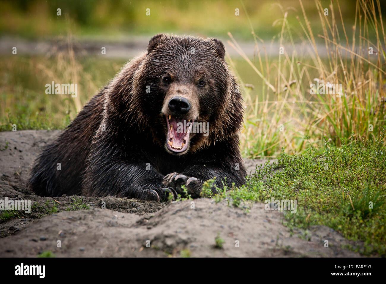 Ours grizzli (Ursus arctos horribilis) avec de larges mâchoires ouvertes, geste menaçant, Valdez, Alaska, Photo Stock