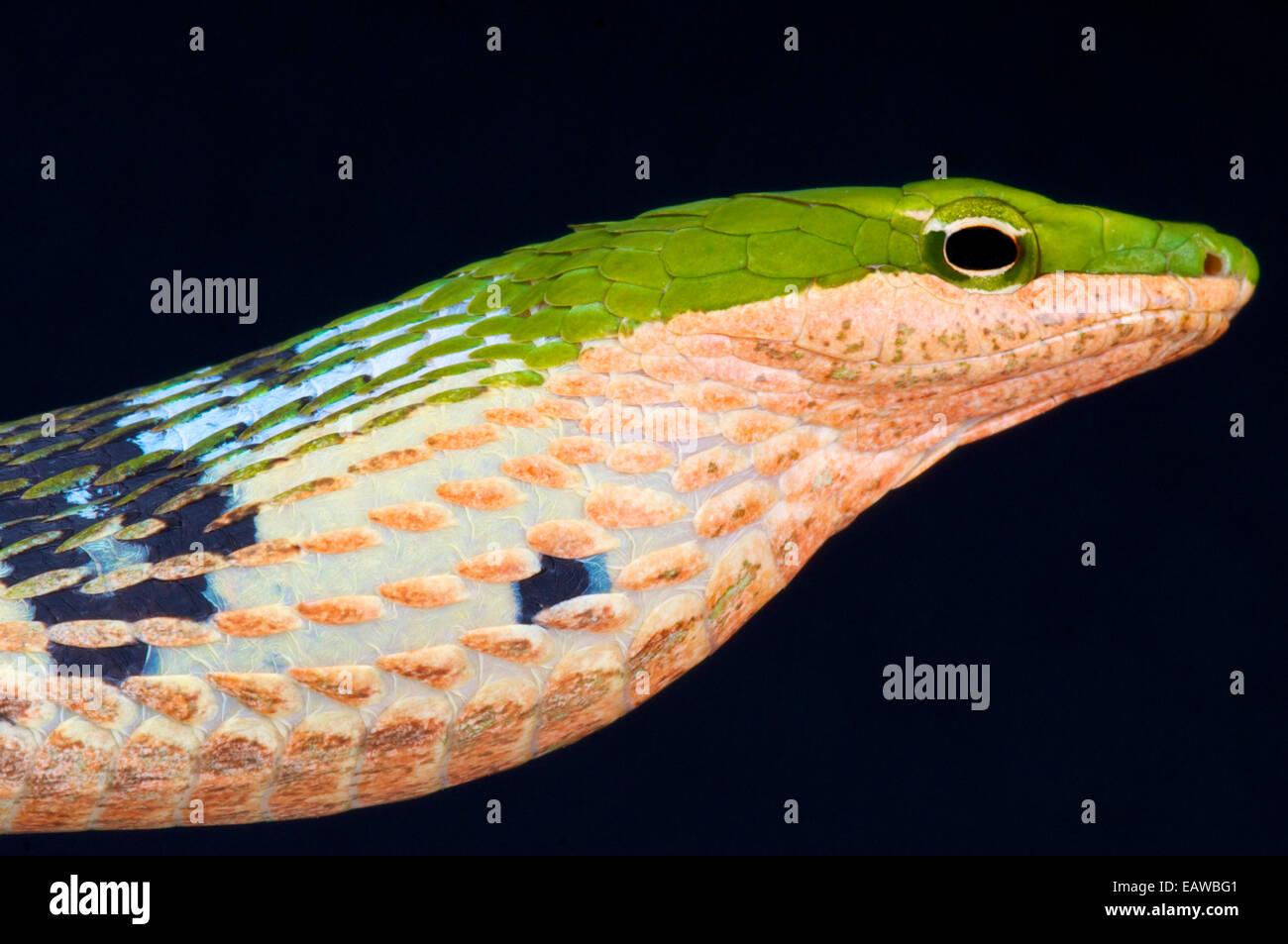 / Thelotornis kirtlandii serpent brindille Photo Stock