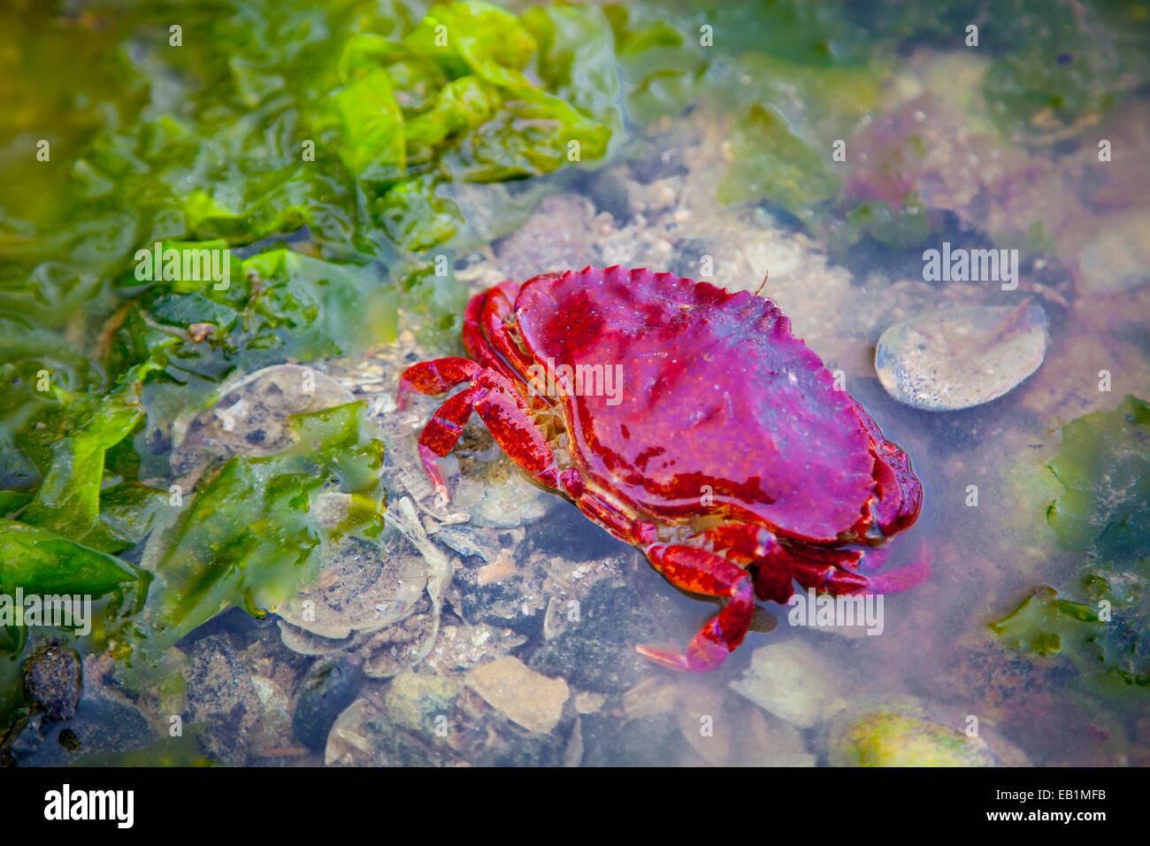 Le crabe et d'algues dans une piscine dans les rochers à marée basse à Sechelt, Colombie-Britannique, Photo Stock