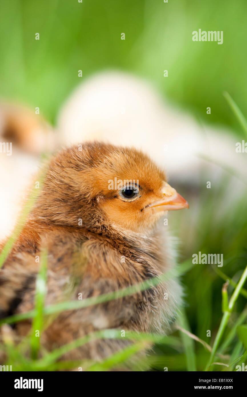 Poussins de volailles d'un jour à l'extérieur sur l'herbe. Photo Stock