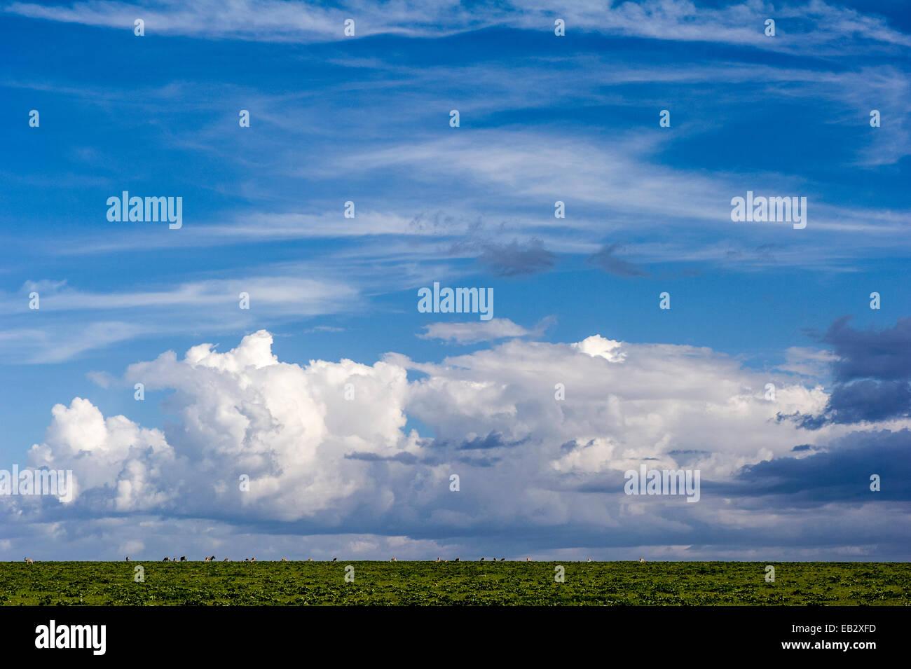 Les troupeaux de la Gazelle de Thomson et Zebra le pâturage sur l'horizon d'une plaine d'herbe Photo Stock