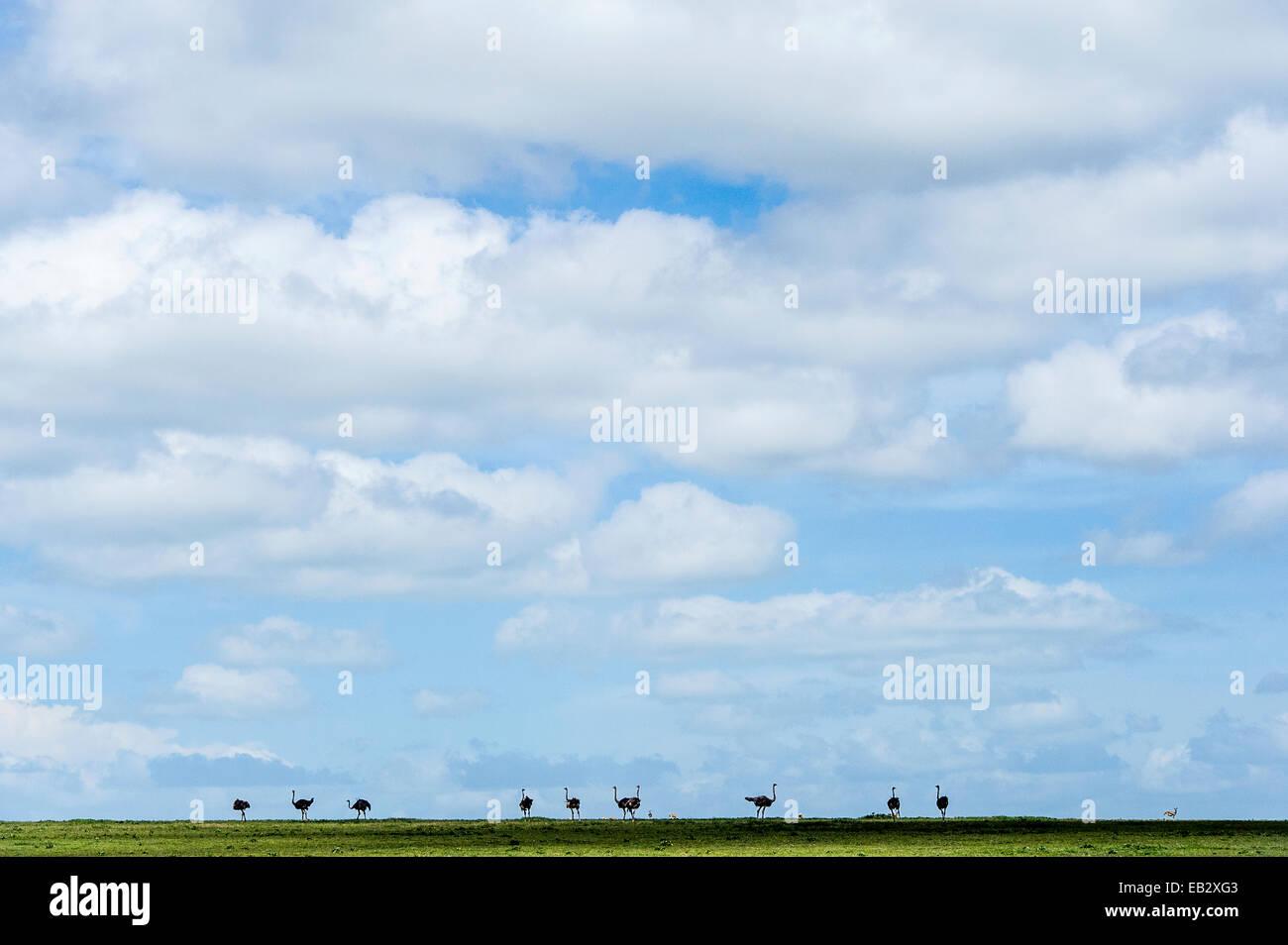 Un troupeau d'Autruches silhouette sur l'horizon de la savane sous ciel rempli de nuages duveteux. Photo Stock