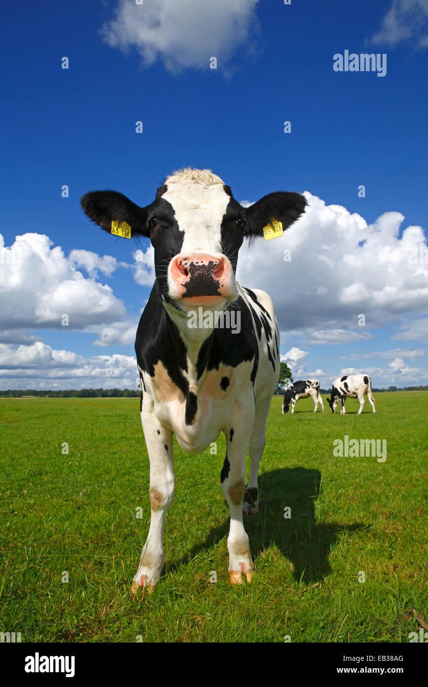 Frison de jeunes curieux sur un pâturage de vaches laitières, la réserve naturelle du Oberalsterniederung, Photo Stock