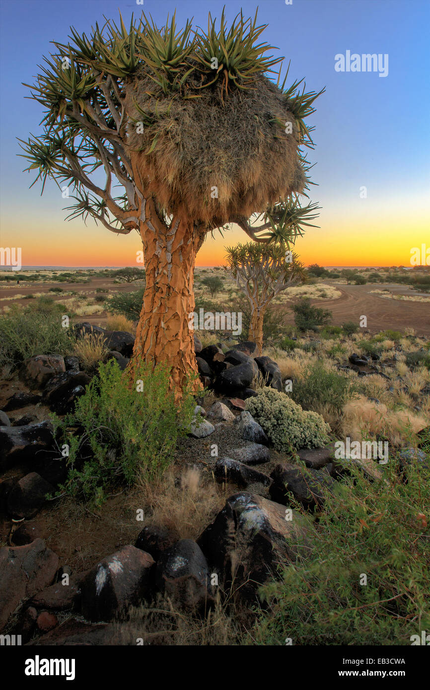 La Namibie, Keetmaanshoop, Sociable weaver bird nest sur Quiver Tree Photo Stock