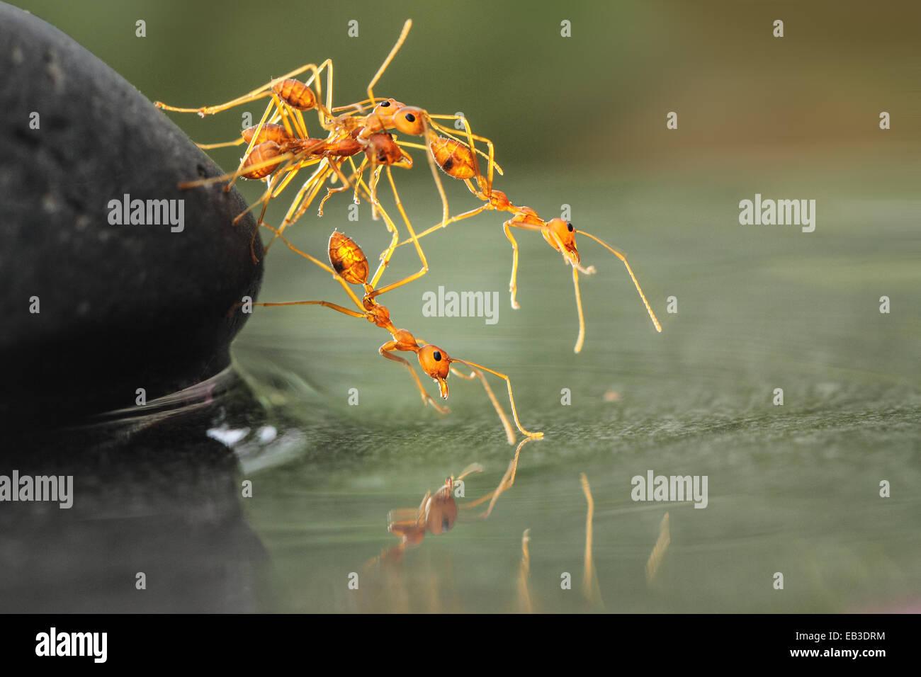 Les fourmis d'aider les uns les autres Photo Stock