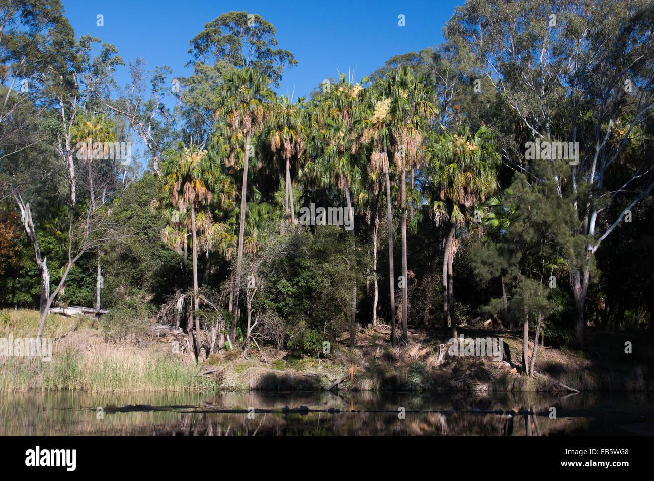 Carnarvon (palmiers Livistona nitida) au bord de la piscine dans les rochers, Carnarvon National Park, Queensland, Photo Stock