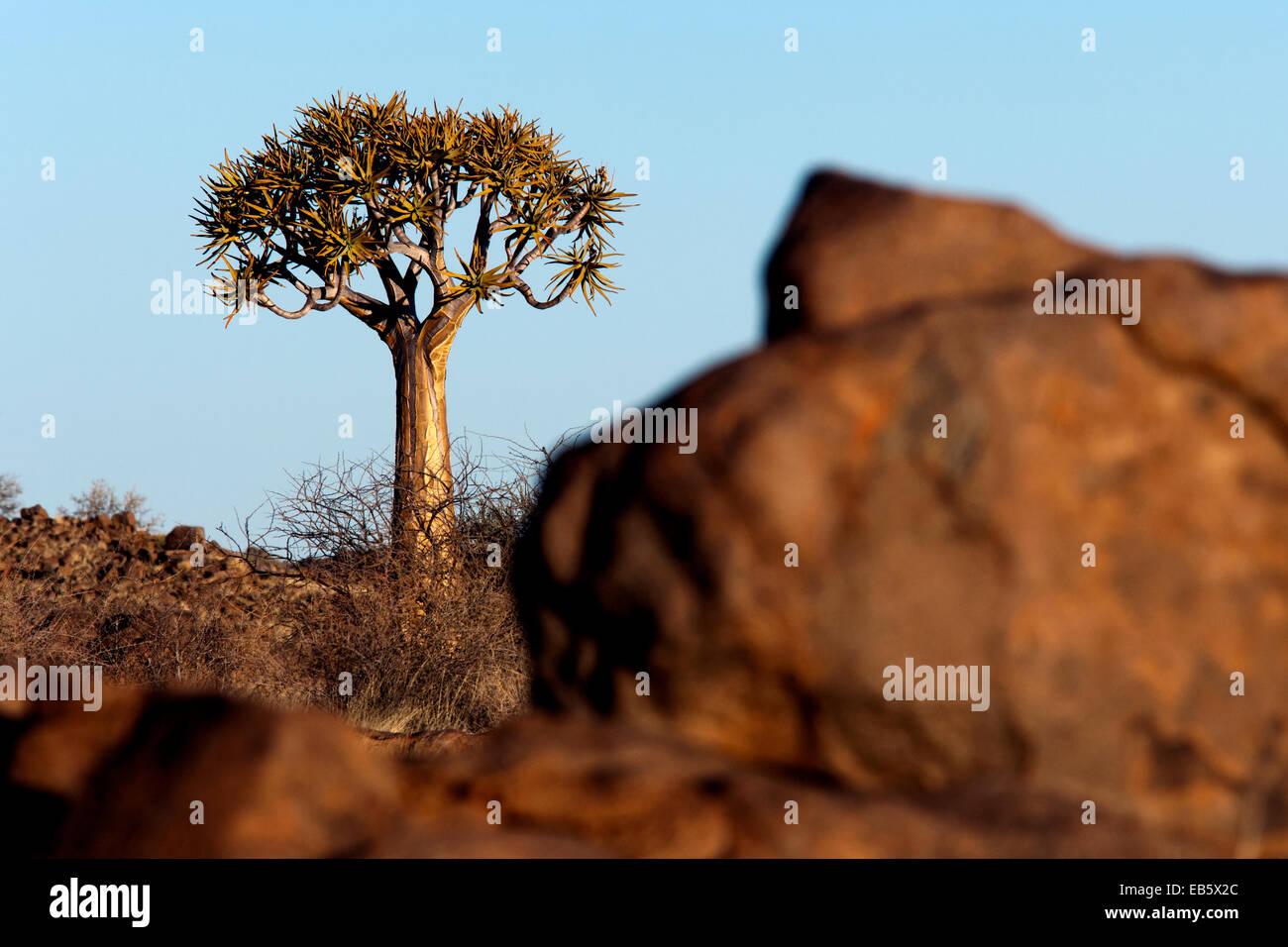 Quiver Tree (Aloe dichotoma) - Keetmanshoop, Namibie, Afrique du Sud Photo Stock