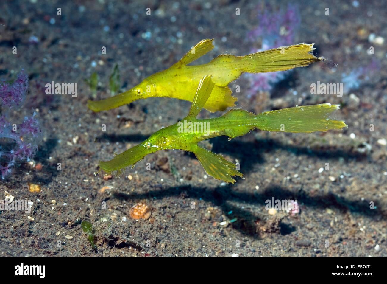 (Solenostomus cyanopterus ghostpipefish robuste), paire. Bali, Indonésie. (Saisie numérique). Photo Stock