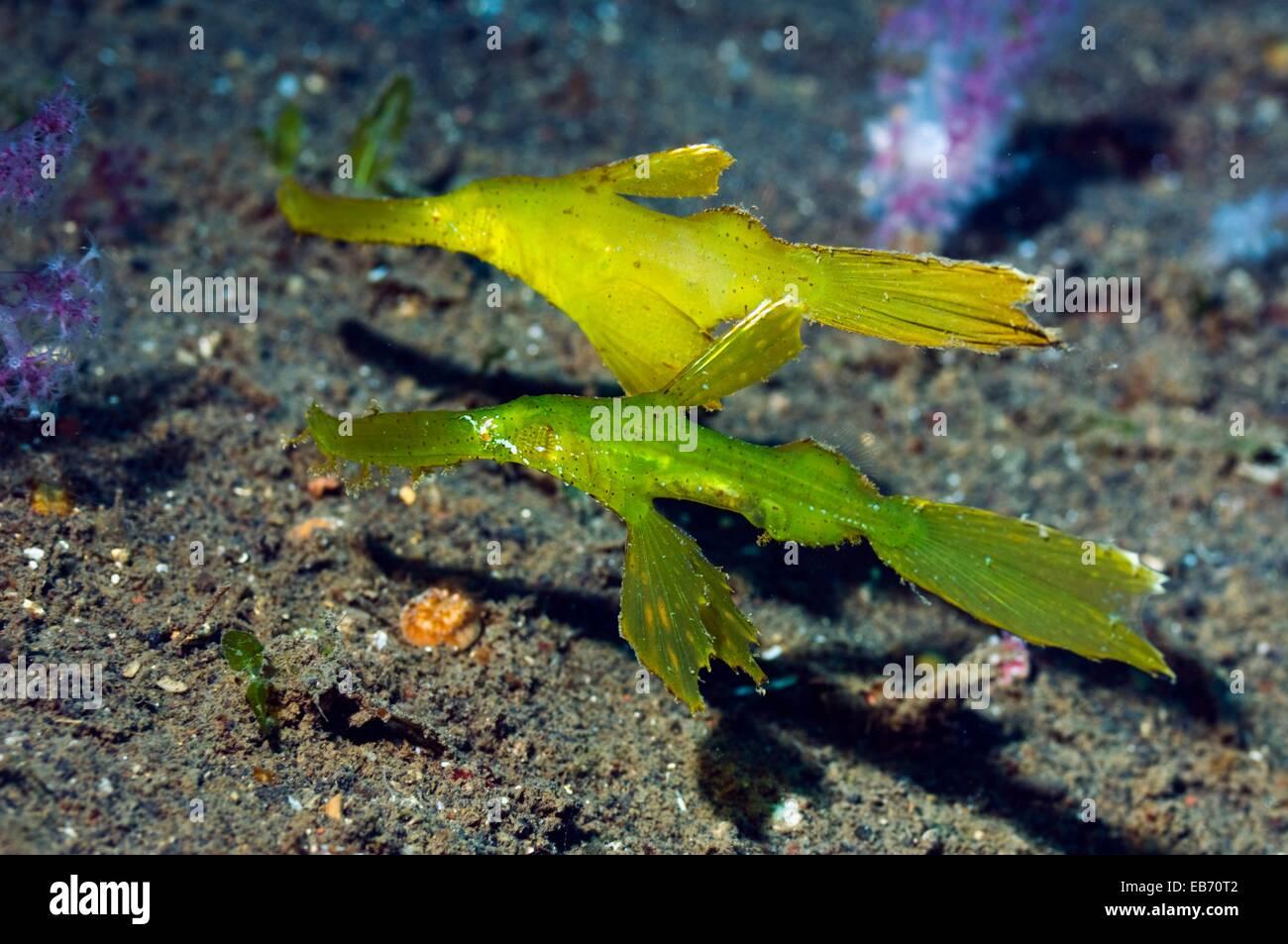 (Solenostomus cyanopterus ghostpipefish robuste), paire. Bali, Indonésie. Photo Stock