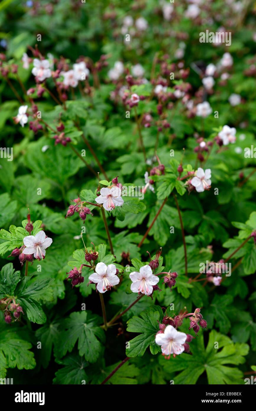 Geranium macrorrhizum géranium sanguin album evergreen crème fleur ...