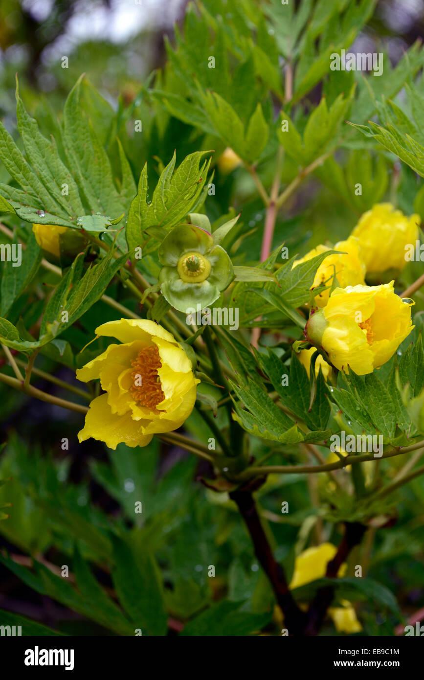 Paeonia Delavayi Pivoines Pivoines Fleurs Jaune Ludlowii Tibetain