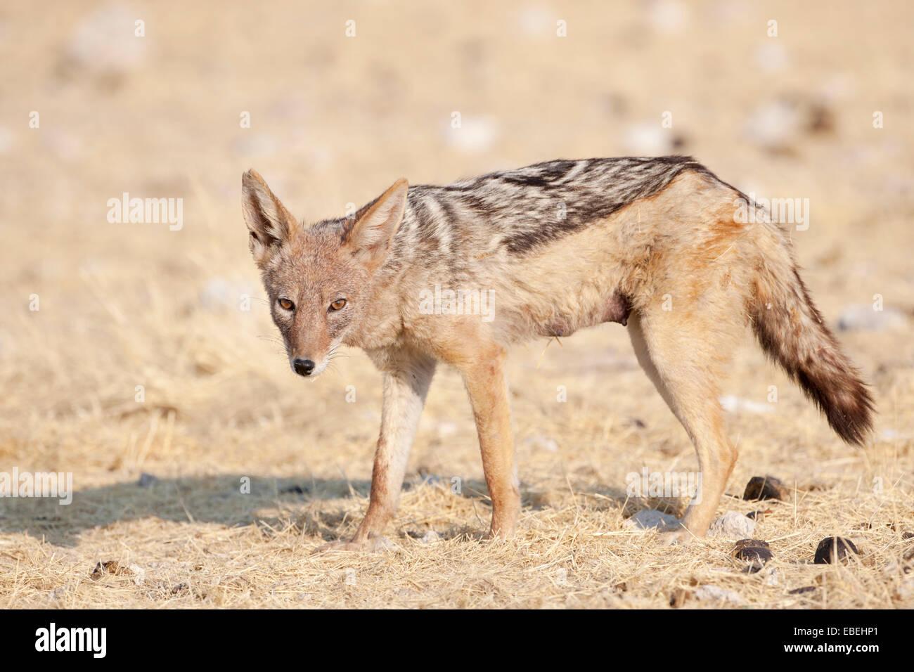 Le Chacal à dos noir (Canis mesomelas) marche dans la prairie et looking at camera, Etosha National Park, Namibie. Banque D'Images