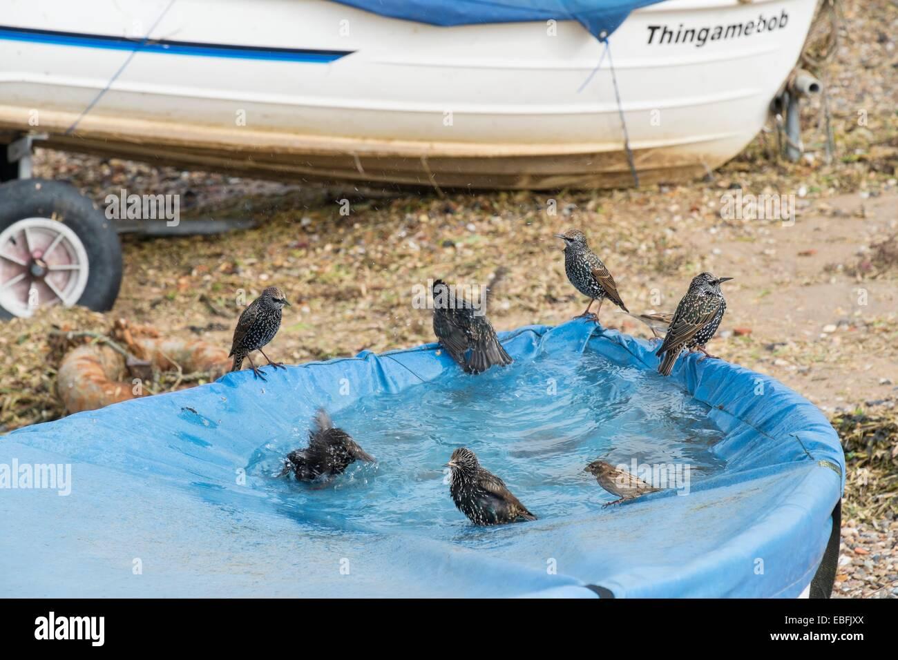 Étourneau sansonnet Sturnus vulgaris commun- Maison Sparrows-Passer et domesticus, baignade dans l'eau Photo Stock