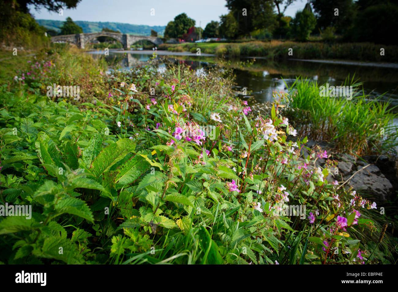Balsamine de l'himalaya floraison fleurs plantes envahissantes qui poussent sur les rives de la rivière Conwy Conwy dans le Nord du Pays de Galles, Automne 2014 Banque D'Images