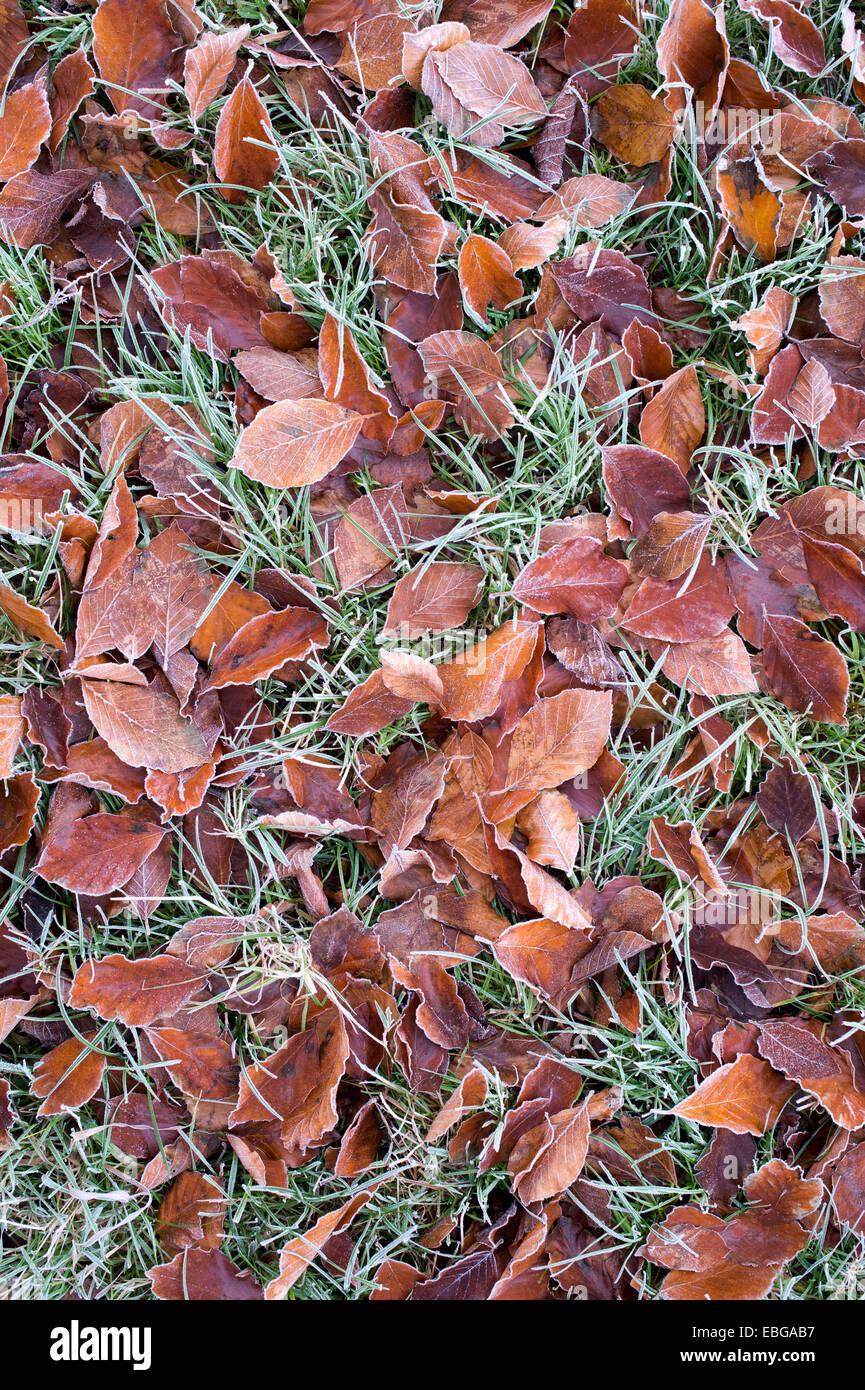 Feuilles de hêtre tombé sur l'herbe dans le froid Banque D'Images