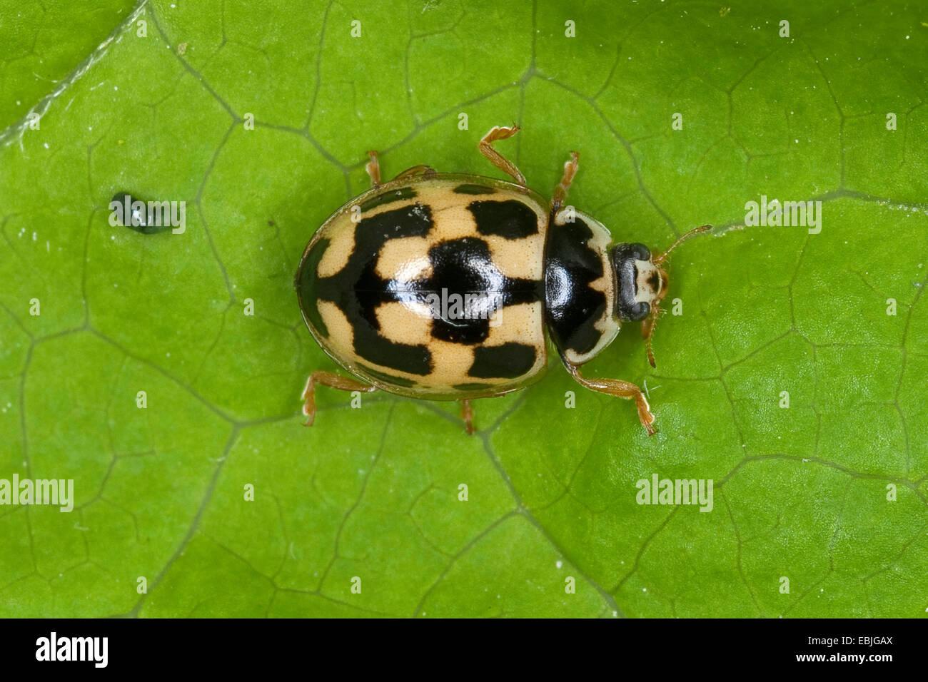 Quatorze-spot ladybird (Propylea quatuordecimpunctata), assis sur une feuille, Allemagne Photo Stock