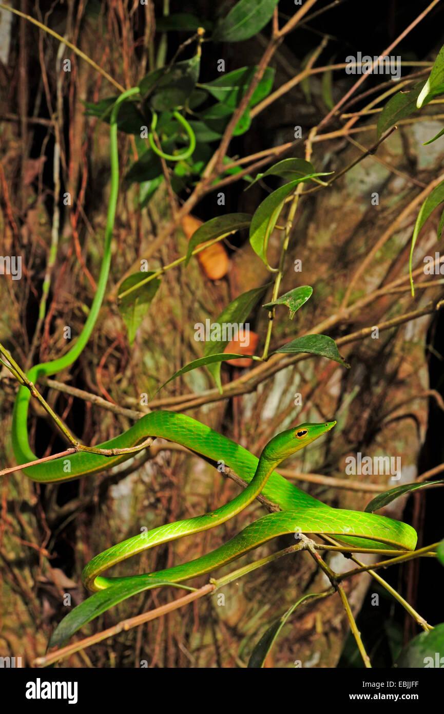 Le whipsnake, vert serpent de vigne (Ahaetulla nasuta), de fétuque dans un buisson, le Sri Lanka, Sinharaja Forest National Park Banque D'Images