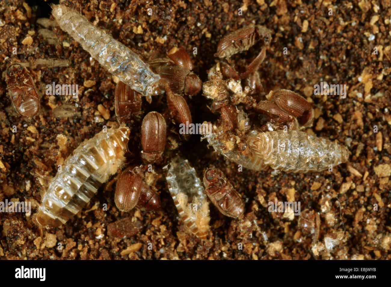 Drugstore beetle, drug store, charançon du pin, biscuit pain ponderosa Stegobium paniceum (), coléoptères Photo Stock