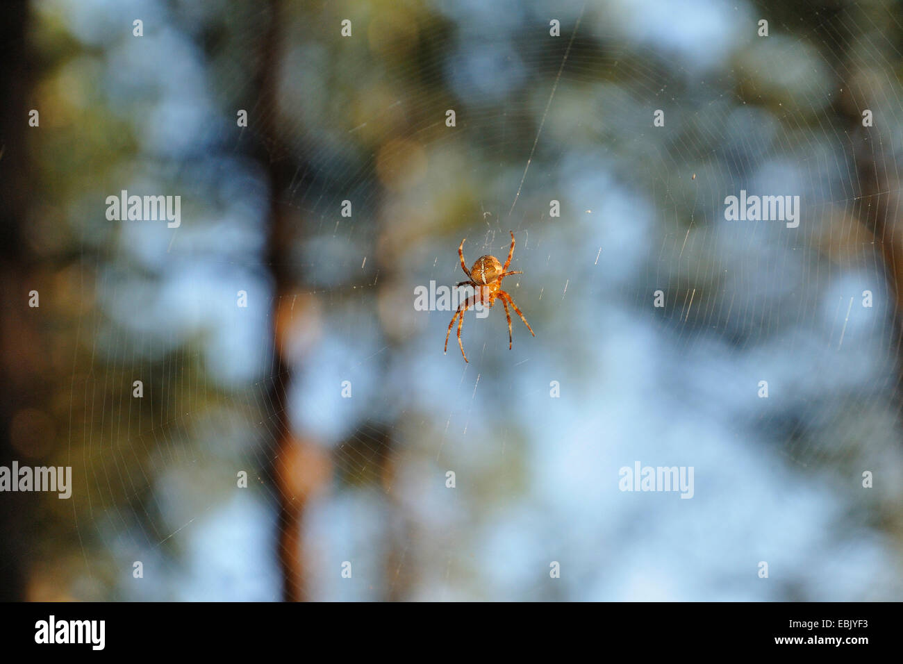 (The orbweavers incliner &AMP; the orbweavers) roundshouldered (Araneus spec.), Araneus assis sur spider web, Allemagne, Rhénanie du Nord-Westphalie Banque D'Images