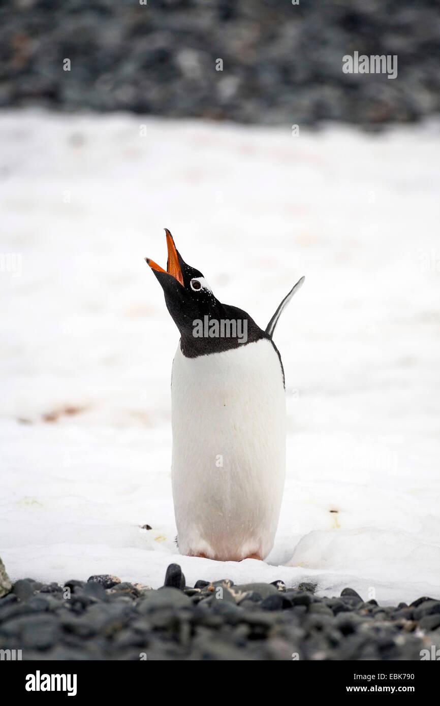 Gentoo pingouin (Pygoscelis papua), debout dans la neige avec les ailes étendues, appelant l'Antarctique Photo Stock