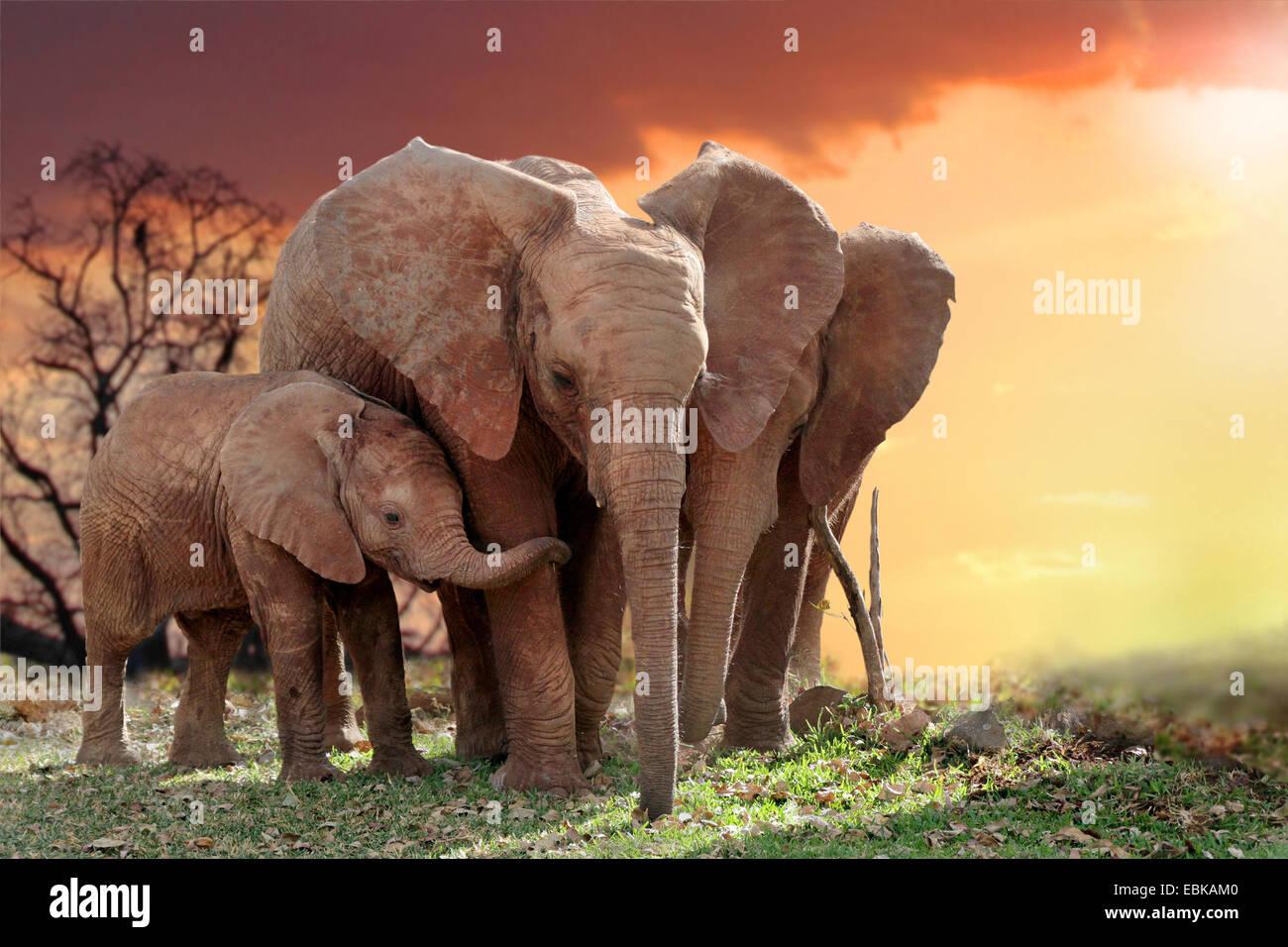 L'éléphant africain (Loxodonta africana), les éléphants avec jeune animal dans le coucher Photo Stock