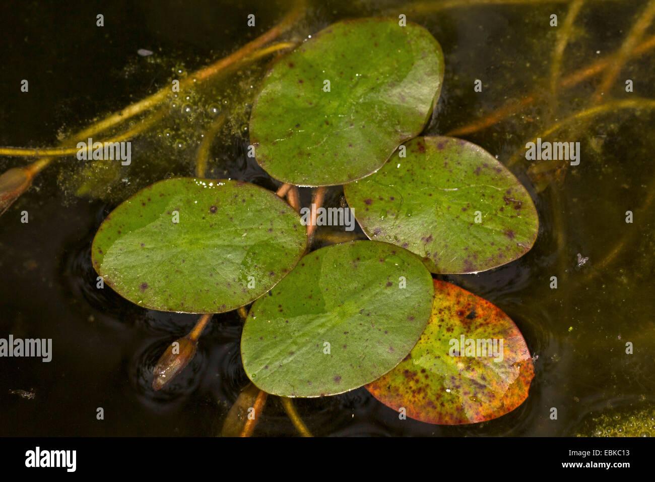 Protection de l'eau, l'eau, bonnet Dollar cible (Brasenia schreberi, Hydropeltis purpurea, Brasenia purpurea), Photo Stock