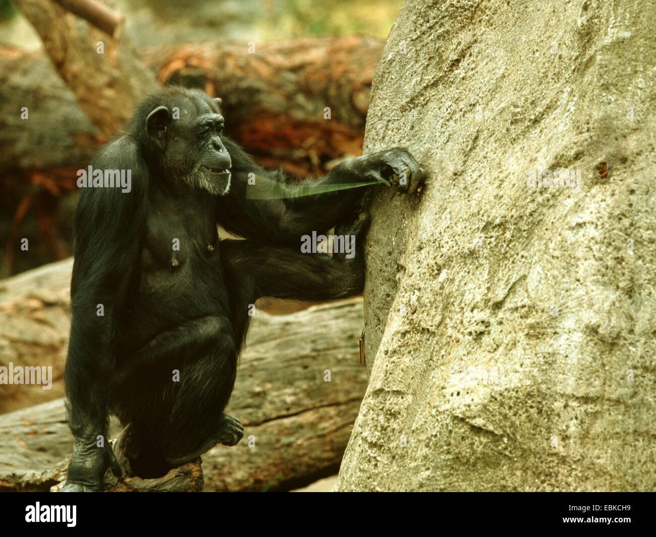 (Pan troglodytes chimpanzé commun), l'utilisation de l'outil par un chimpanzé, animal avec du Photo Stock