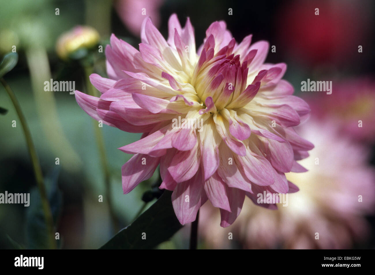 Georgina (Dahlia 'Touch of Class', Dahlia touche de classe), le cultivar touche de classe Photo Stock