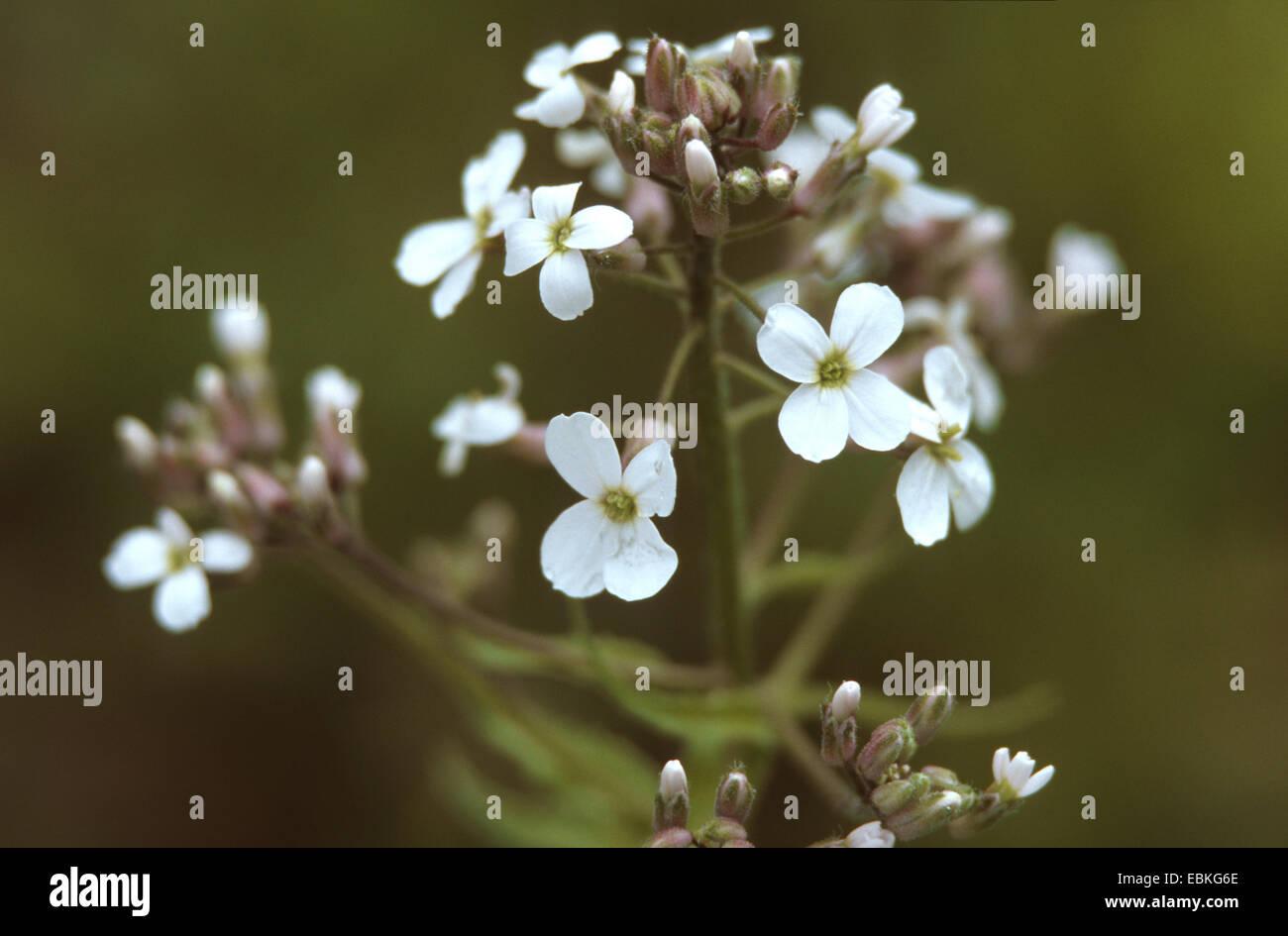 La dame-fusée, dame de la violette, roquette, Dame's rocket (Hesperis matronalis), à fleurs blanches, Photo Stock
