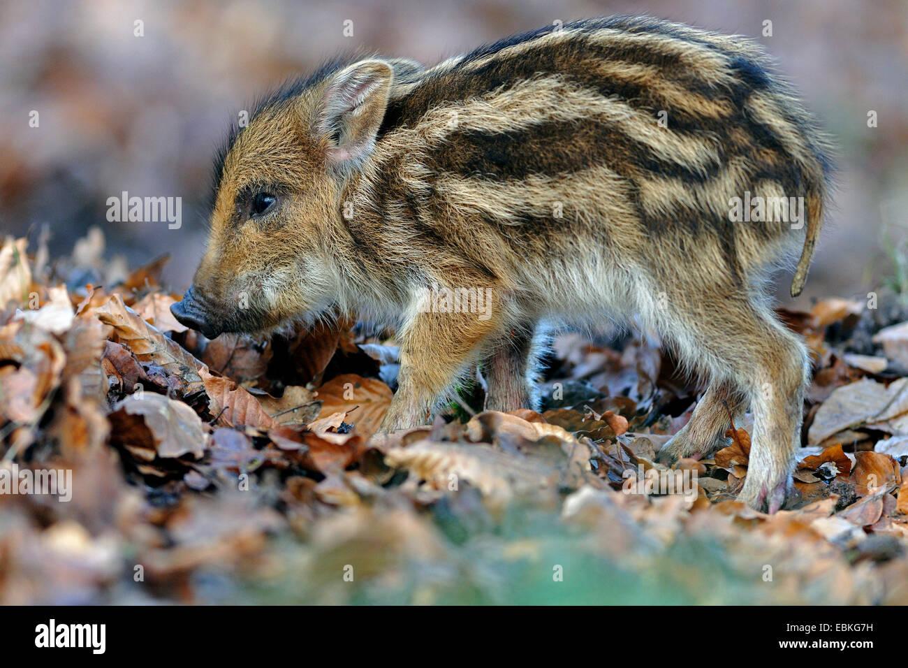 Le sanglier, le porc, le sanglier (Sus scrofa), sur l'alimentation animale, shote Allemagne Banque D'Images