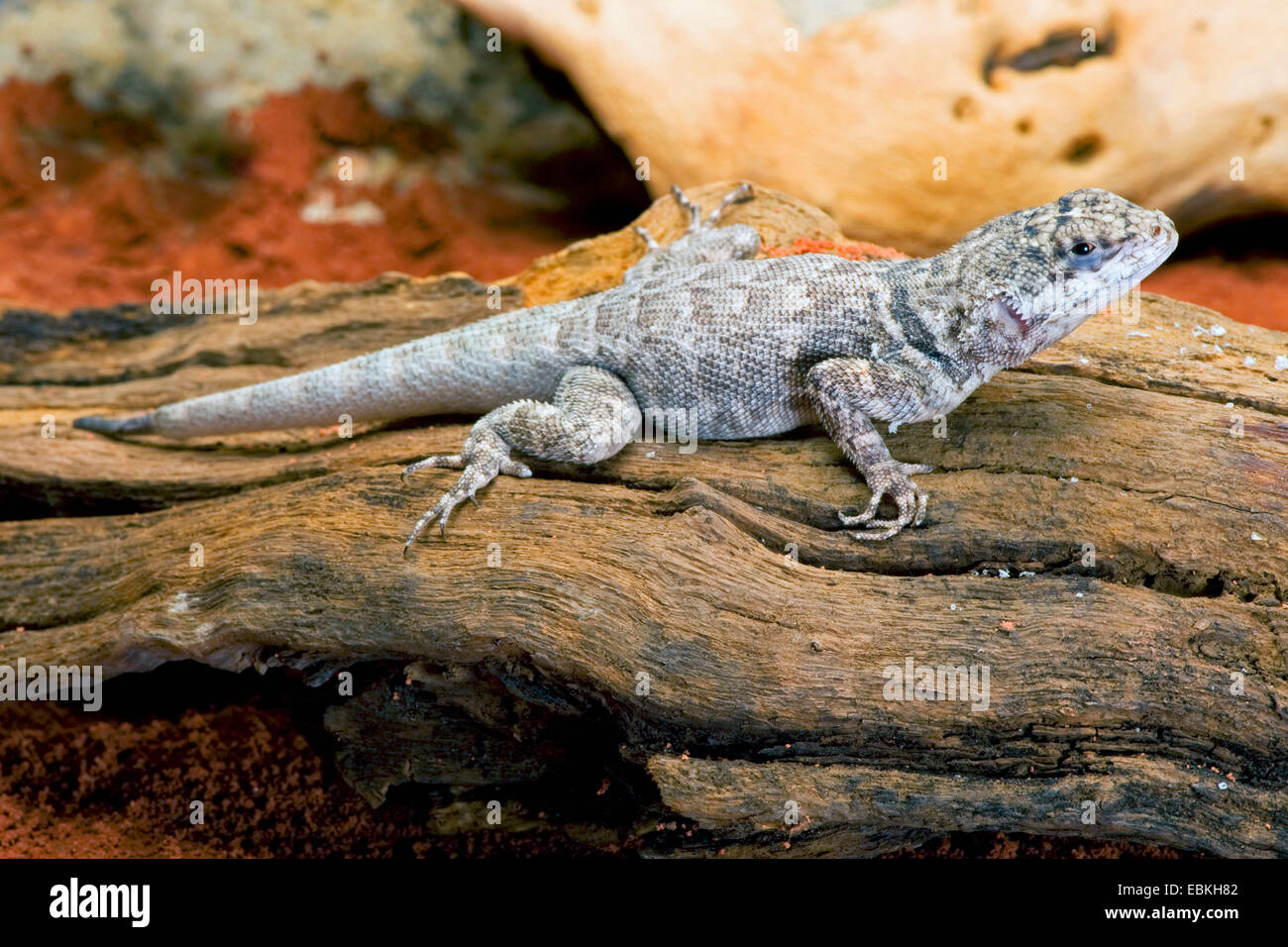 Amazon Lava Lizard (Tropidurus torquatus), assis sur le bois mort Photo Stock