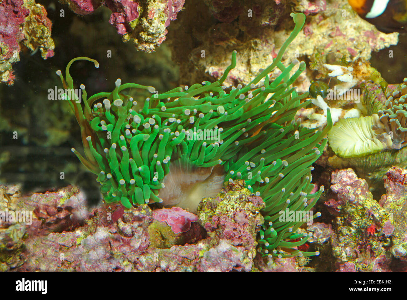 Corail Euphyllia glabrescens (flamme), side view Photo Stock