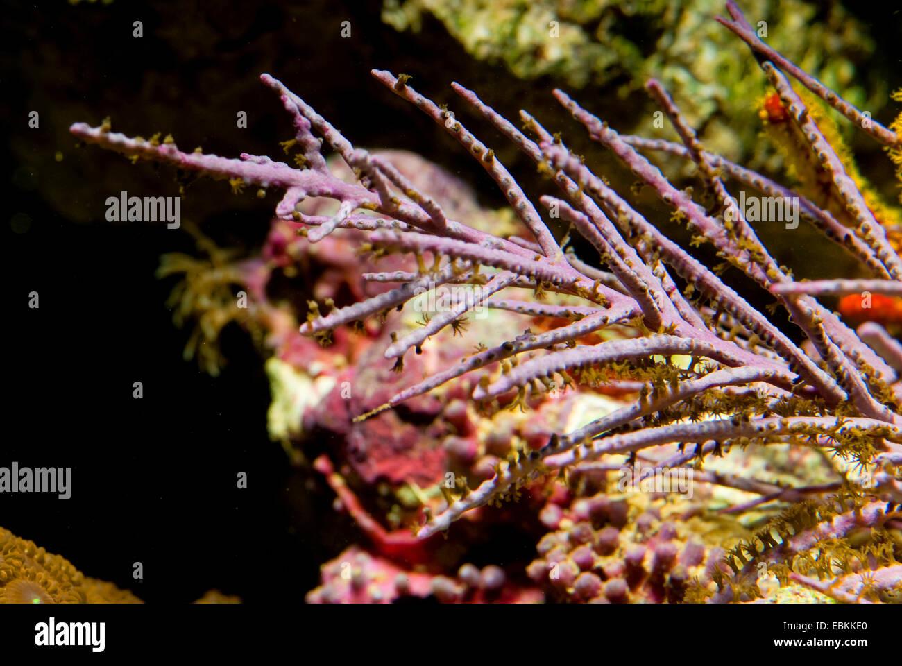 Plume (la mer Pseudopterogorgia spec.,), close-up view Photo Stock