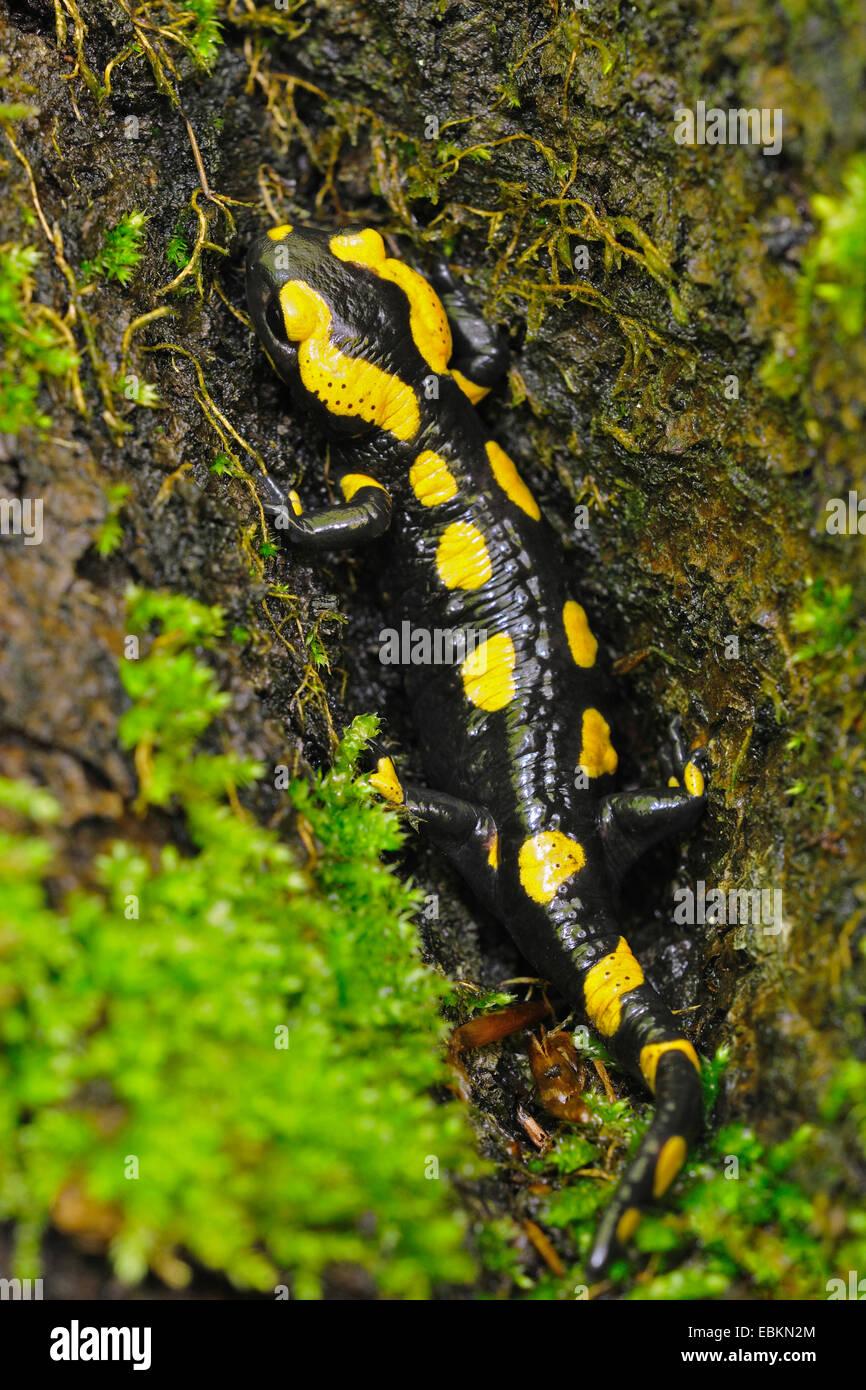 Salamandre terrestre européen (Salamandra salamandra), sur bois moussus, Allemagne Banque D'Images