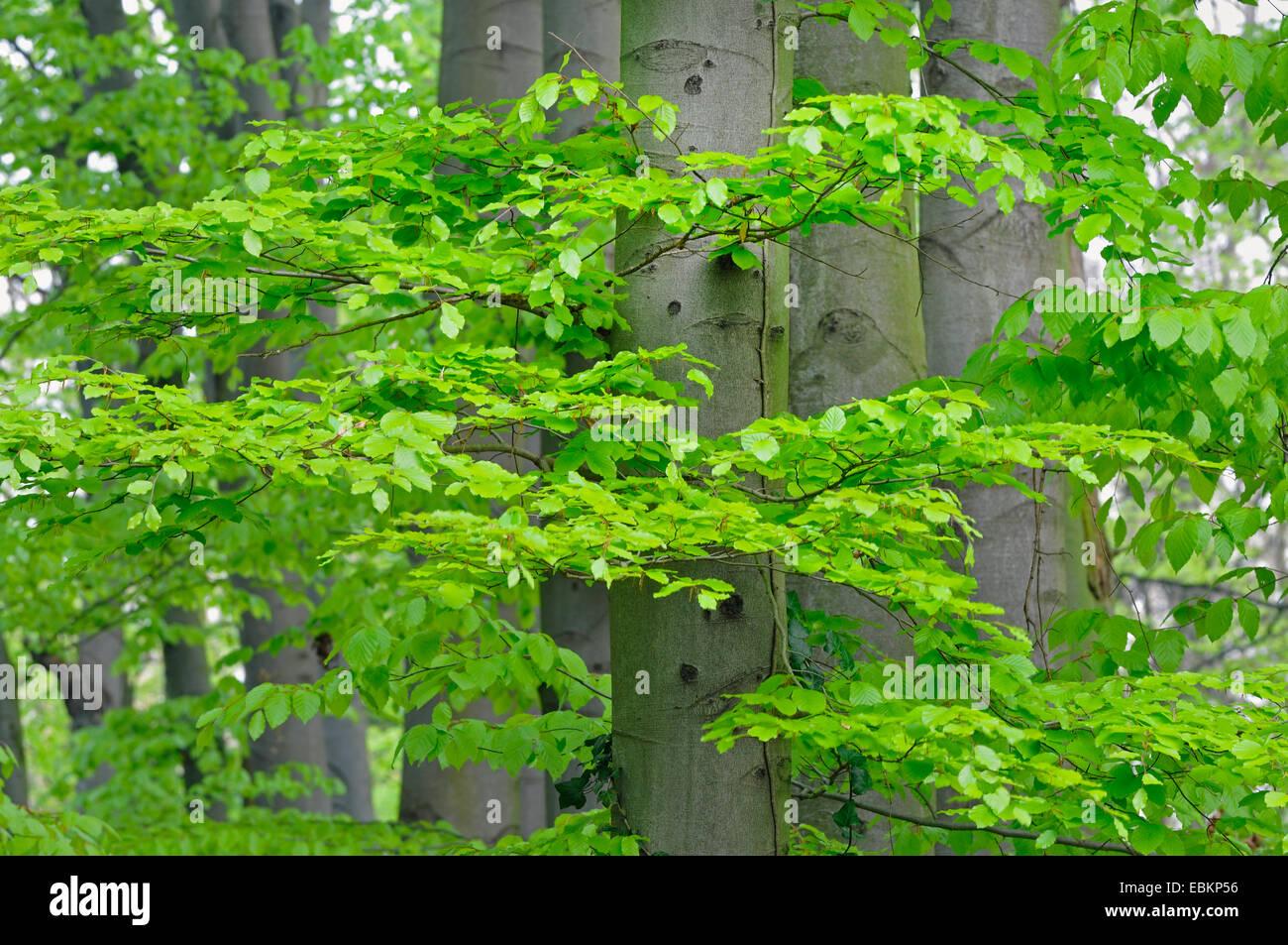 Le hêtre commun (Fagus sylvatica), hêtres communs avec les jeunes feuilles, Allemagne Banque D'Images