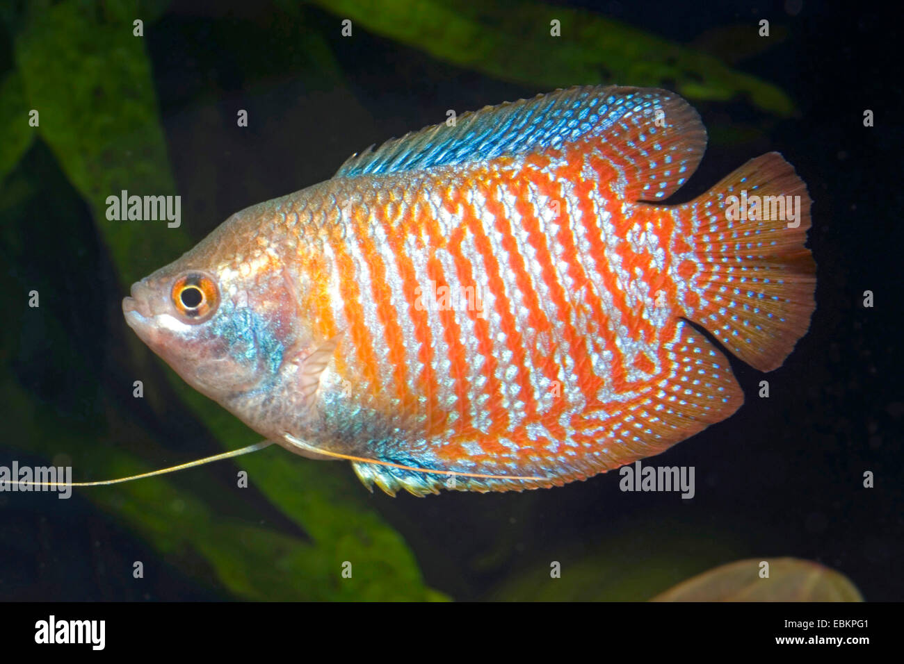 Gourami nain (Colisa lalia), homme couleur naturelle Photo Stock